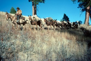A train of pack mules provides transportation through the rough backcountry of the Salmon River
