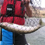 Steelhead in net, caught with our Idaho fishing guides - Aggipah River Trips