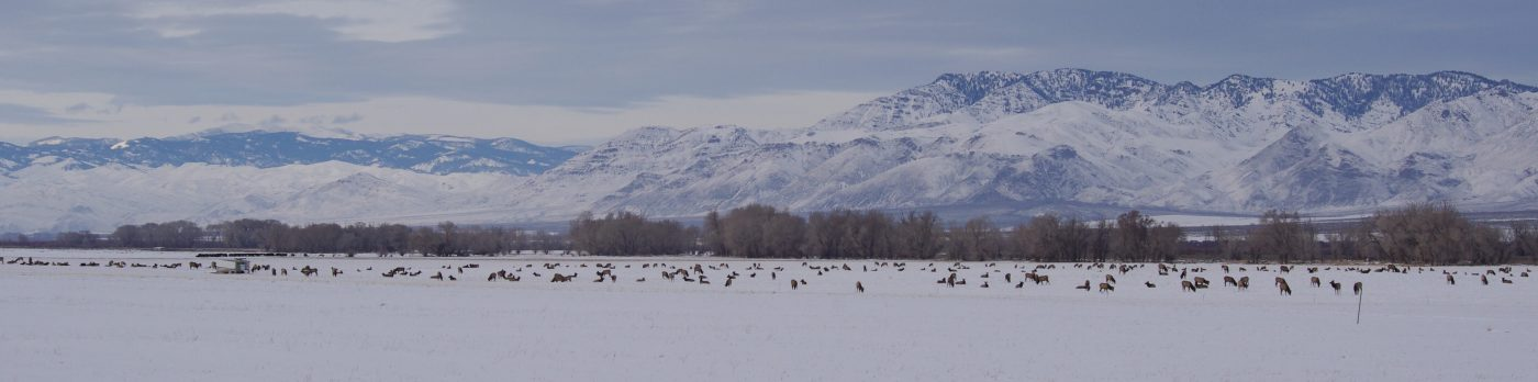 Elk in Salmon River country