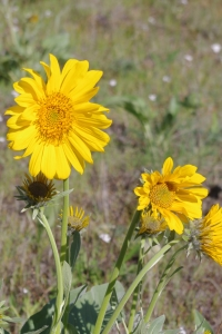 Arrowleaf Balsamroot, one of the first wildflowers of spring.